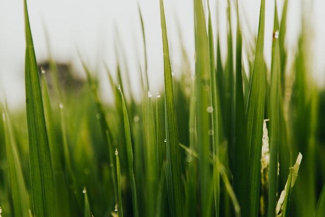 A picture of grass to highlight the question is wheatgrass gluten free?